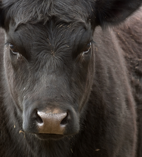 Cow-calf operations may benefit from a fabric structure.